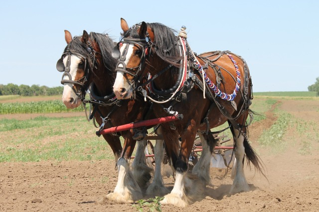 clydesdale-1106337_1920